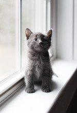 Close Up Of Adorable Gray Kitt...