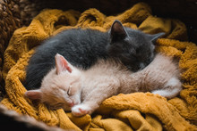 Two Kittens Curled Up Asleep T...