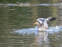 Greylag Goose (Anser Anser) La...