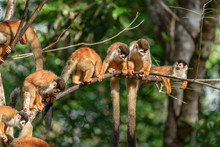 Troop Of Squirrel Monkeys On Tree Branch In Costa Rica