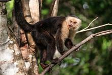 Close Up Of Wild Capuchin Monk...