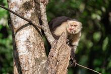 Wild White Faced Capuchin Monk...