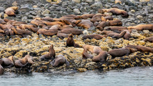 Sea Lion Colony  Resting On T...