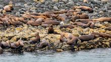 Sea Lion Colony  Resting On The Rocks Near Juneau, Alaska.