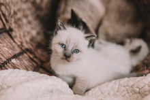 White Siamese Kitten With Blue Eyes