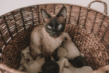 Siamese Cat Gives Birth To Lit...