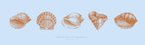 Fototapeta Fototapety z morzem do Twojej sypialni - Collection of hand-drawn realistic seashells. Shells of mollusks of various forms: spirals, cone, scallops on blue background. Oceans nature in vintage style. Vector illustration of engraved lines.