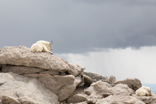 Mountain Goats Resting On The ...