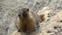 Panting Wary Marmot On A Rock ...