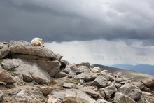 Mountain Goats Resting On The Rocks On Top Of Mount Evans In Colorado