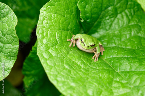 Green frog sitting on a leaf Canvas Print