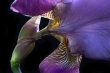 Purple And Yellow Bearded Iris Close Up