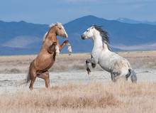 Onaqui Wild Horses Fighting