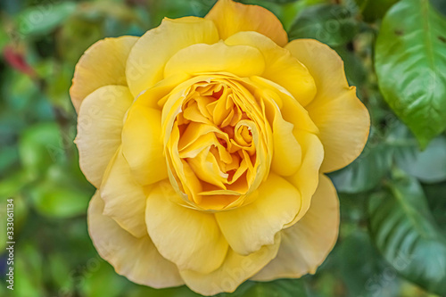 Closeup above view of a yellow rose in garden with shallow depth of field background.