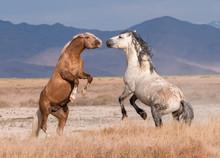 Onaqui Wild Horse Herd