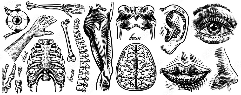 Fototapeta Anatomy of human bones and muscles. Organ systems. Body and Thorax and pelvis, heart and brain, eye and spine, sensory cortex. Leg and arm. Hand drawn engraved biology illustration.