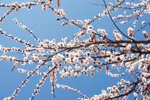 White Flowering Cherry Spring ...