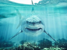 A Predator Great White Shark S...