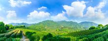 Green Tea Mountain On A Sunny ...