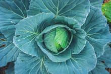 Fresh Organic Green Cabbage Ve...