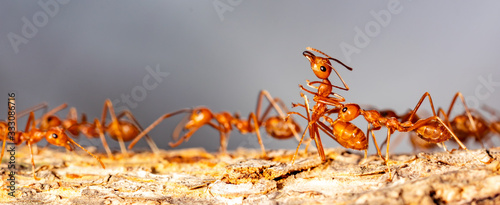 Photo Ants teamwork concept, ants working  and carrying other insect ant to nest on branch tree on black background, mocro insect animal wildlife concept