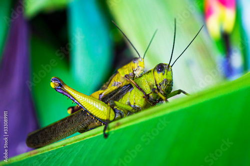 Two locust mating , on the exotic flower leaf Wallpaper Mural