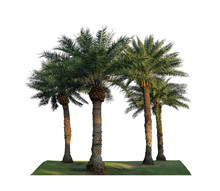Group Of Phoenix Dates Palm Trees On Green Grass Lawn, Isolated On White Background, Pinate Silver Leaf Of Palmae Plant Die Cut With Clipping Path