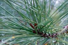 Image Coniferous Branch.
