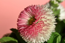 Blossom Double Colored White And Pink Daisy Macro