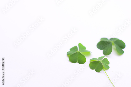 Fototapeta Green clover leaf   on white background with three-leaved shamrocks