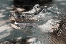 Mississippi-Alligator