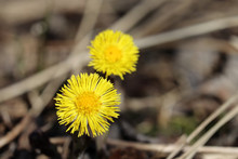 Coltsfoot Flowers In A Spring Forest. Blooming Tussilago Farfara, Yellow Flowers In Sunny Day