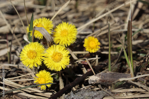 Fotografia, Obraz Coltsfoot flowers in a spring forest
