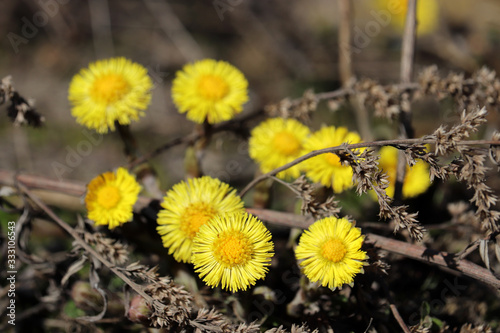 Vászonkép Coltsfoot flowers in a spring forest