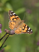 Vanessa Cardui, Known As The P...