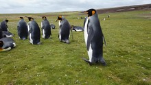 Penguins Relaxing On The Green...