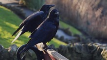 Two Black Crows