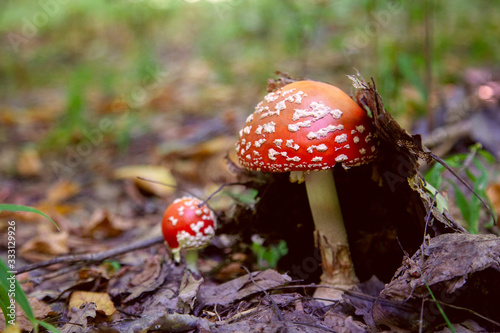 Mushroom family of Amanita muscaria, commonly known as the fly agaric or fly amanita Wallpaper Mural