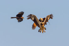Black Kite And Brahminy Kite