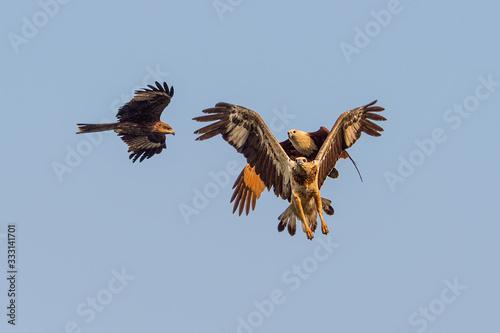 Fényképezés Black Kite and Brahminy Kite