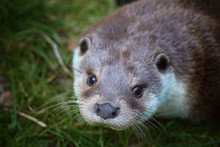 Portrait Of European Otter, Lutra Lutra . Direct View, Green Background.    Spring In Europe, Flooded Forest Biotope.