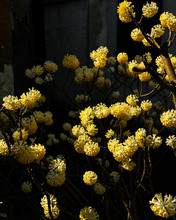 Yellow Wild Flowers Isolated O...