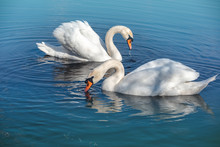 A Pair Of Swans Are Swimming I...
