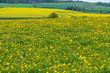 Eine Wiese mit blühendem Löwenzahn im Taunus/Deutschland im Frühling