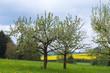 Blühende Apfelbäume im Taunus/Deutschland und ein Rapsfeld im Hintergrund