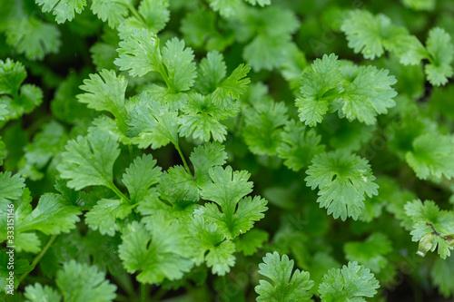 Fototapeta Coriander plant in vegetables garden. obraz