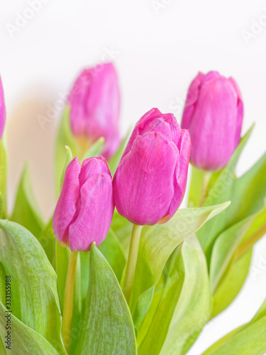 violet colored tulip flowers bouquet on white background close up