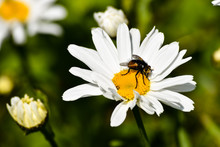 A Bee Sits On A Daisy In Spring
