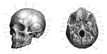 Human Skull Anatomy (cranium) ...