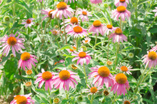 Vibrant Growing Patch Of Echinacea Purpurea Also Known As Purple Coneflower.